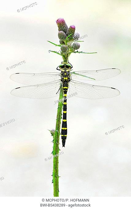 golden-ringed dragonfly (Cordulegaster boltoni, Cordulegaster boltonii, Cordulegaster annulatus), sitting at a marsh thistle, Germany
