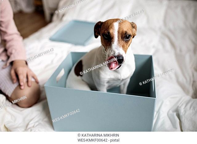 Portrait of Jack Russel Terrier sitting in a cardboard box
