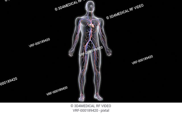 Animation depicting a rotation around the cardiovascular system within an x-ray style human body. The heart is beating throughout the animation
