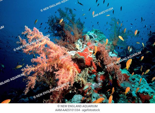 Soft Coral (Dendronephthya) with Sweepers (Pempheris)