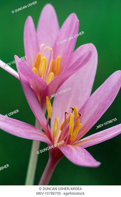 Autumn Crocus / Meadow Saffron - has medicinal properties & used in the treatment of Leukaemia & gout. (Colchicum autumnale)
