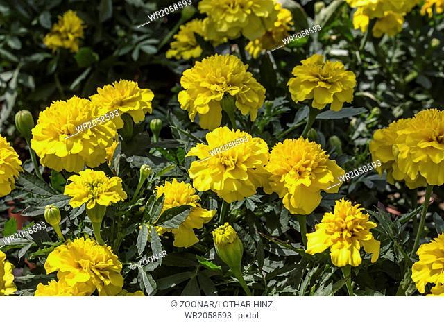 Tagetes patula Nana, French marigold