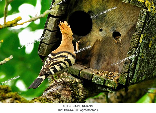 hoopoe (Upupa epops), on a branch with feed in the bill in front of a nesting box, rear view, Germany