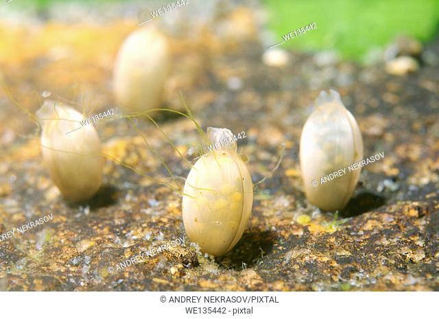 Eggs of fresh water snail, Lake Baikal, Siberia, Russian Federation, Eurasia