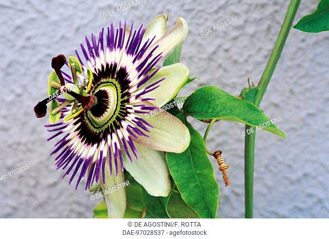 Bluecrown Passionflower (Passiflora caerulea), Passifloraceae