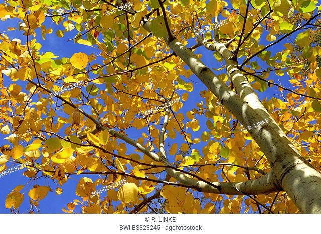aspen, poplar (Populus spec.), Poplar in Autumn, Germany, Bavaria