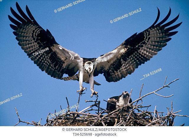 Osprey with nesting Material. Pandion haliaetus. Sanibel Island / Florida, USA
