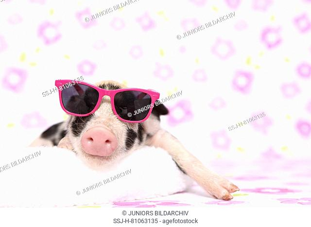 Domestic Pig, Turopolje x ?. Piglet sleeping on a white blanket, wearing sunglasses. Studio picture seen against a white background with flower print