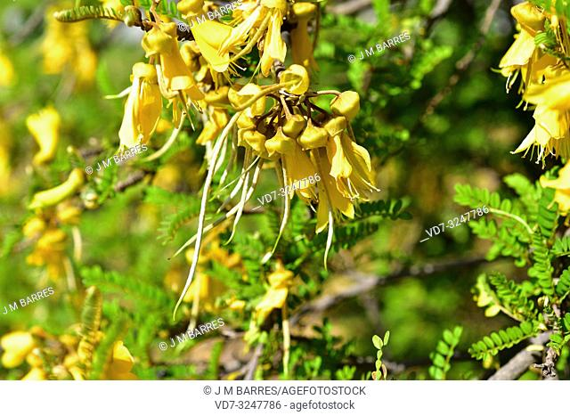 Toromiro (Sophora toromiro) is a tree endemic to Easter Island and extinct in the wild. Flowers and unripe fruits detail
