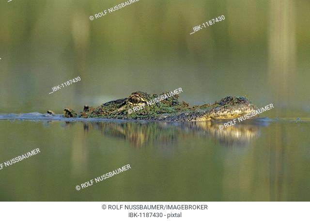 American Alligator (Alligator mississipiensis), adult swimming, Sinton, Coastal Bend, South Texas, USA