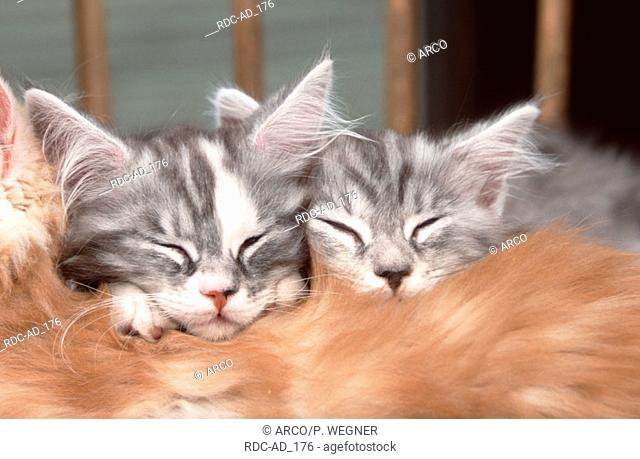Maine Coon Cats kitten sleeping