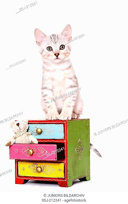 Bengal Cat. Kitten (7 weeks old) sitting on a small dresser. Studio picture against a white background. Germany