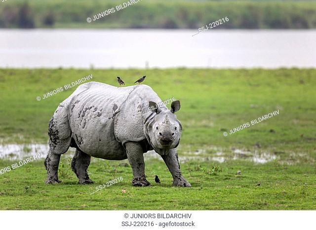 Indian Rhinoceros (Rhinoceros unicornis). Adult and Jungle Mynas (Acridotheres fuscus) next to water. Kaziranga National Park, India