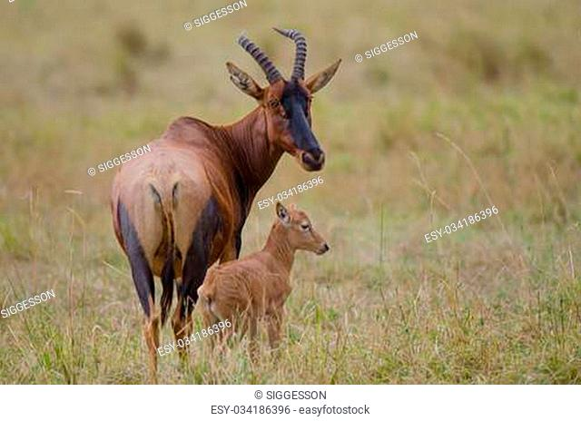 A female topi with her very young calf