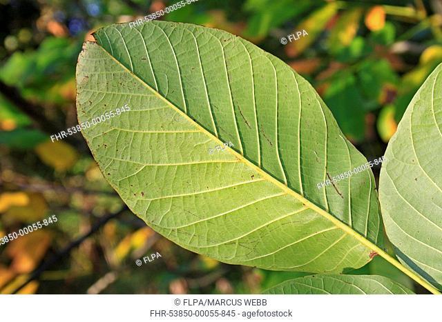 Common Walnut (Juglans regia) close-up of leaf underside, growing in woodland, Vicarage Plantation, Mendlesham, Suffolk, England, October