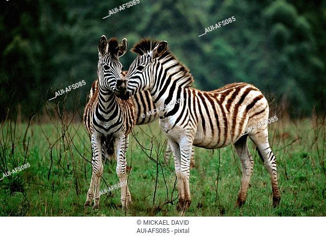 South Africa - National Park - Zebra