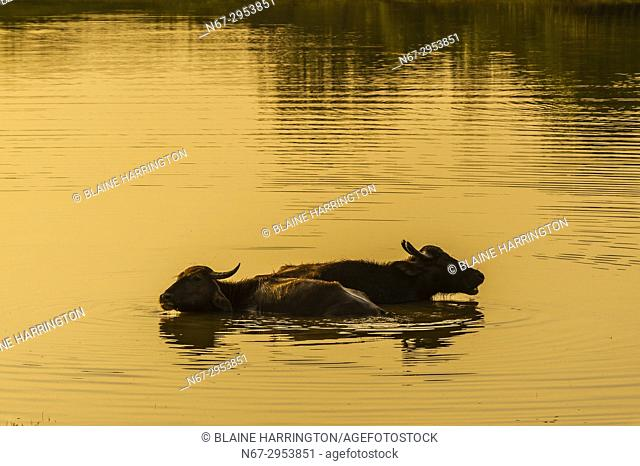 Water buffalo, Yala National Park, Southern Province, Sri Lanka