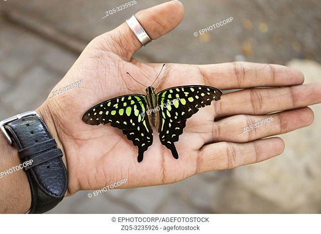 Tailed Jay or Green-spotted Triangle Butterfly, Graphium agamemnon sitting on hand, India