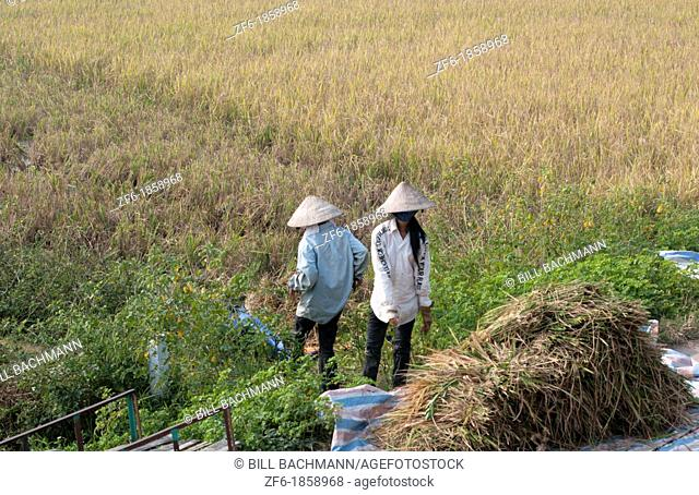 Vietnam, Chi Linh District, Van, Women harvesting rice