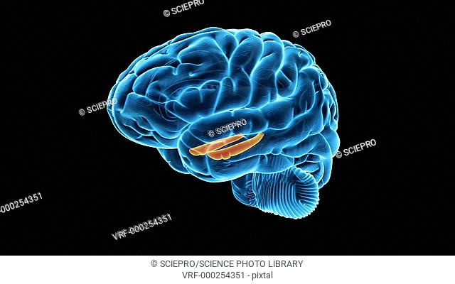 Human brain showing the hippocampus, animation