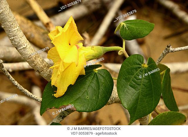 Sea hibiscus or cottonwood hibiscus (Talipariti tiliaceum pernambucense or Hibiscus tiliaceus) is a tree native to Australia