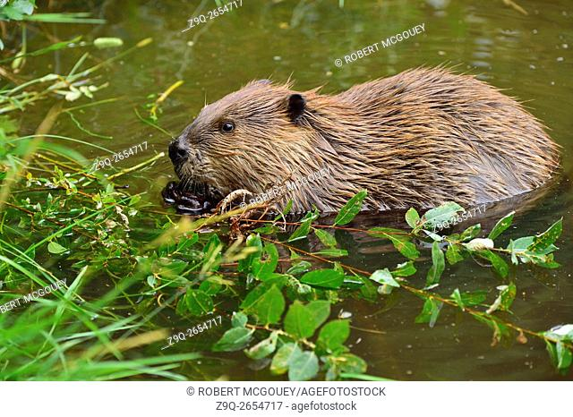 A wild beaver 'Castor canadenis', floating in the water while feeding on some green leaves