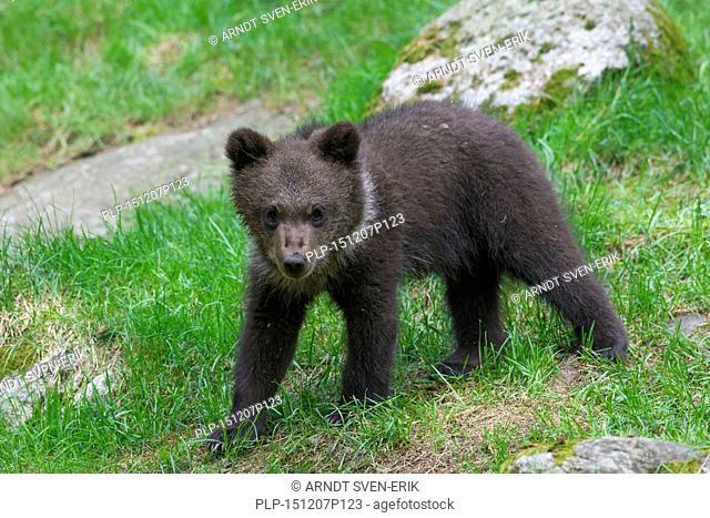 Brown bear (Ursus arctos) cub portrait