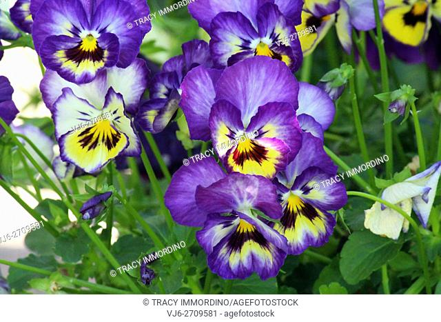 Close up of a cluster of purple and yellow pansies blooming in Trevor, Wisconsin