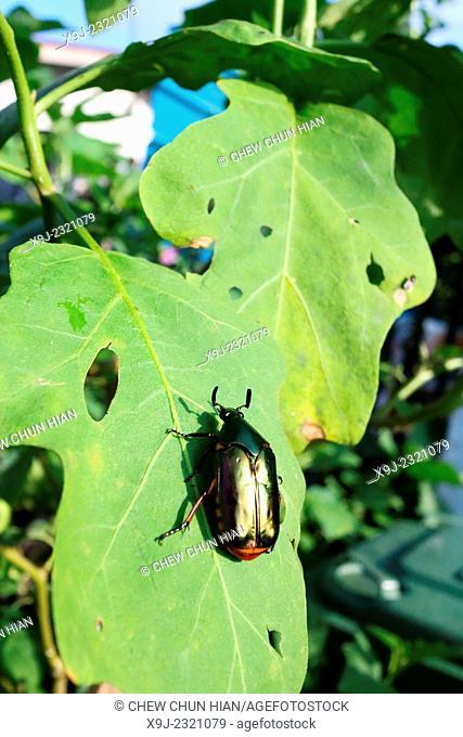 Beetle, blue color of Beetle, borneo