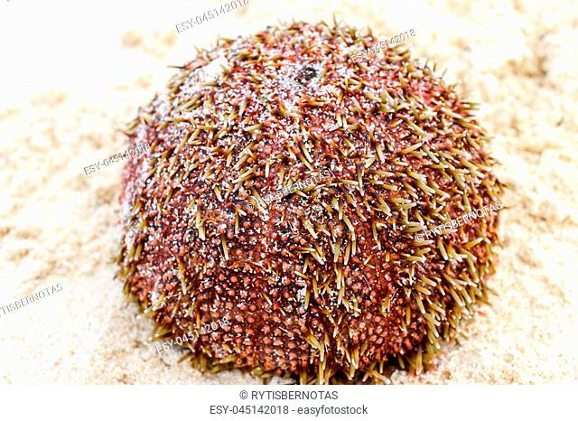 Wet and red sea urchin with yellow needles lying on the sand in the beach. Very sharp and clear needles in in the middle close view