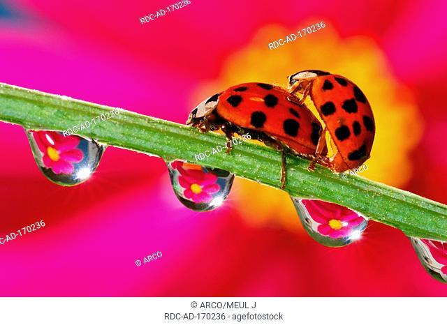 Asian Lady Beetles, Harmonia axyridis, side