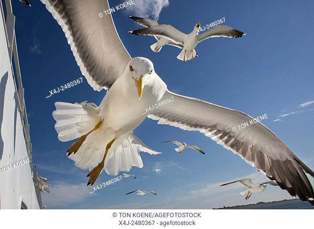 Seagulls following a ferry looking for food
