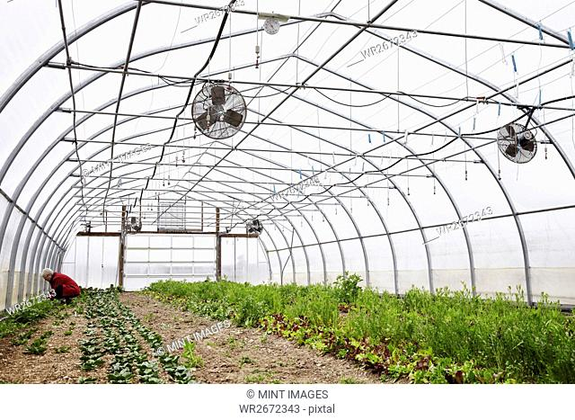 A large commercial horticultural polytunnel with fans in the ceiling, and plants growing in the soil. A person working