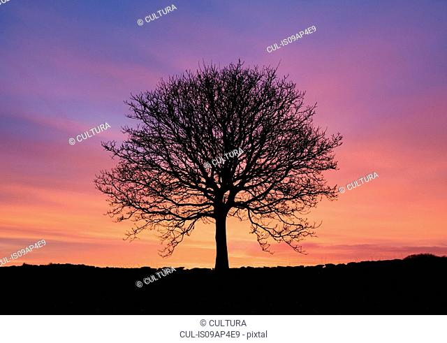 Silhouetted bare ash tree at sunset