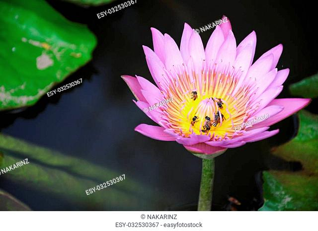 Bees on pollen of lotus