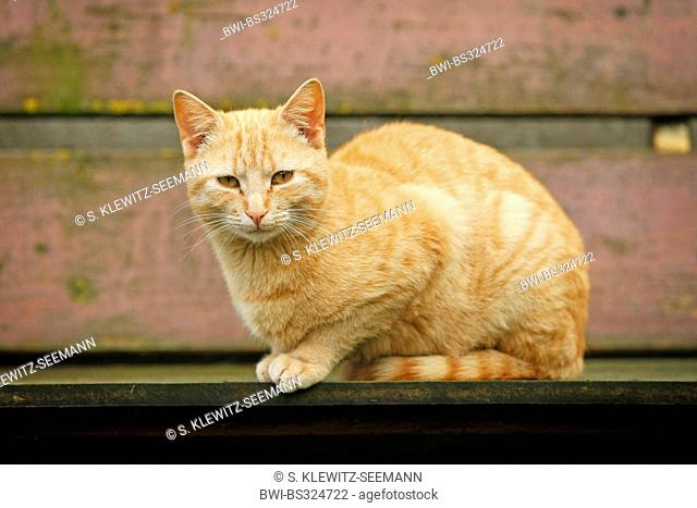 domestic cat, house cat (Felis silvestris f. catus), red striped male looking into camera, Germany