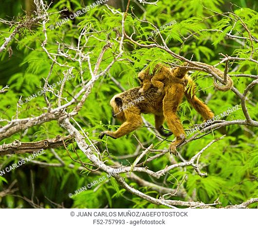 Black Howler Monkey (Alouatta caraya), Pantanal Matogrossense National Park. Mato Grosso, Brazil
