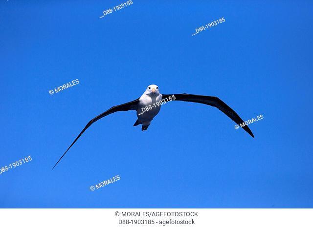 Antarctic, Ocean between Falklands Islands and South Georgia, South Georgia, Black-browed Albatross, Thalassarche melanophrys, in flight