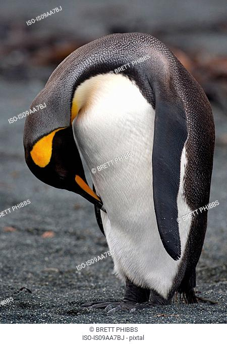 King Penguin on beach along the north east coast of Macquarie Island, Southern Ocean