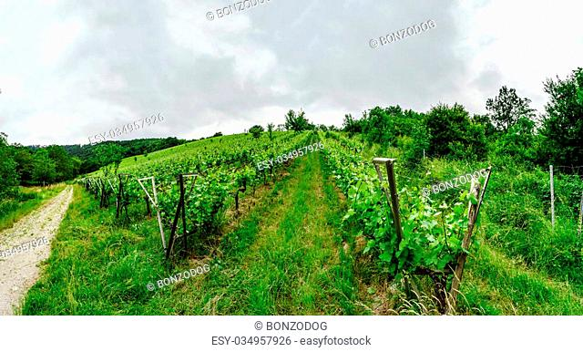Wide panoramic view to Alsacevineyards, France. Nature and agriculture