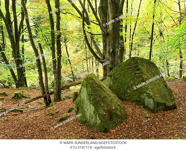 Autumn trees and mossy boulders surrounded by fallen leaves in Skrikes Wood near Pateley Bridge North Yorkshire England