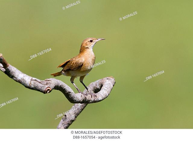 Rufous Hornero (Furnarius rufus), Pantanal area, Mato Grosso, Brazil