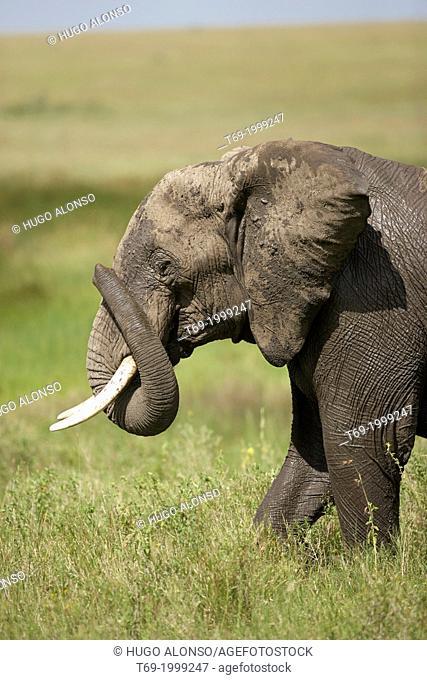 Elephant. African elephants Loxodonta africana