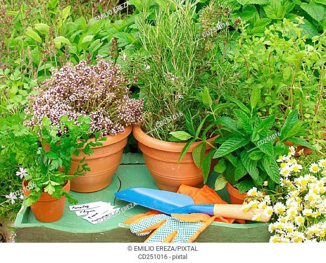 Parsley (Petroselinum sativum), Thyme (Thymus vulgaris), Rosemary (Rosmarinus officinalis), Marjoram (Origanum officinalis), Peppermint (Mentha sp