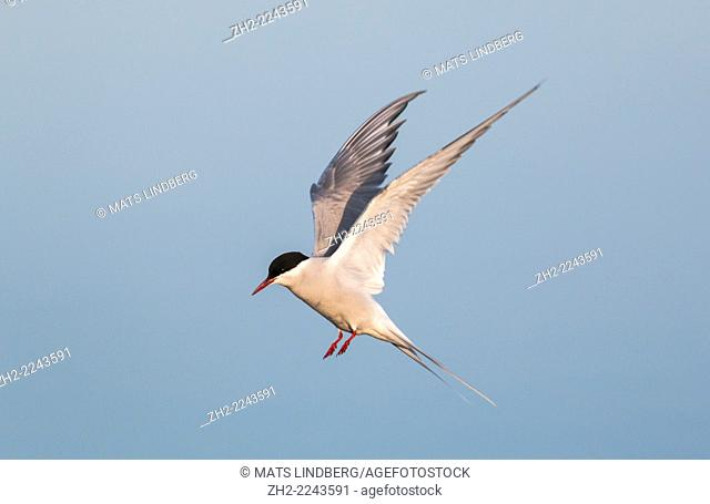 Arctic tern, Sterna paradisaea, hovering