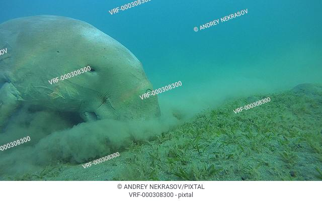 Sea cow eat green sea grass on a sandy bottom - Abu Dabab, Marsa Alam, Red Sea, Egypt, Africa