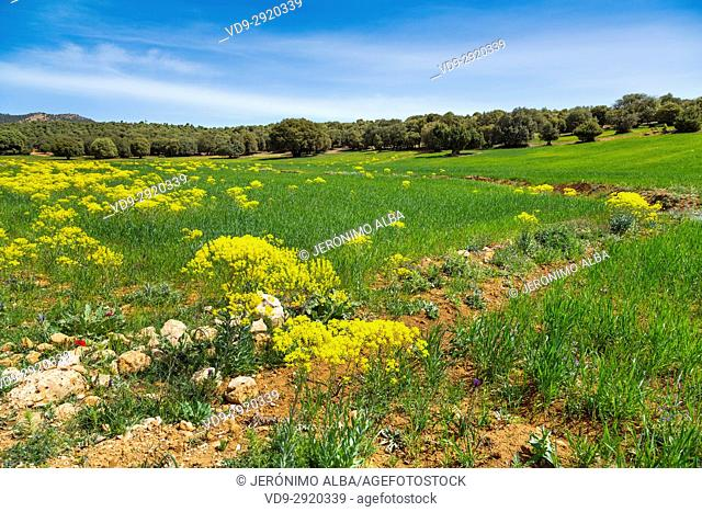 Agriculture. Crop field, near Azrou, Middle Atlas. Morocco, Maghreb North Africa