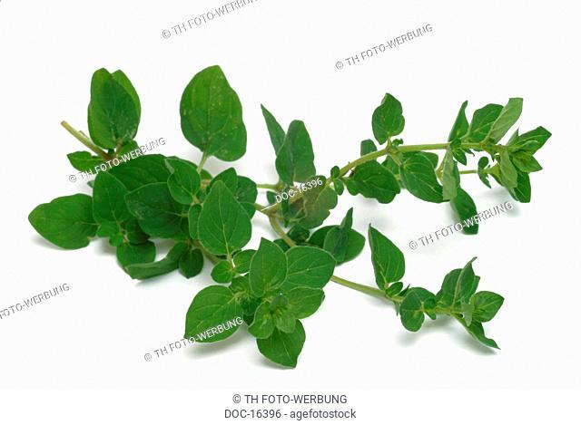oregano - Origanum vulgare - medicinal plant - culinary herb - spice - Origano comune -