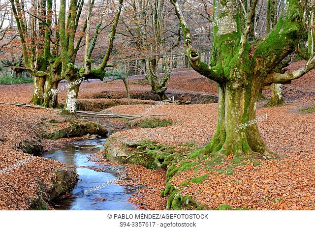Beech wood of Otzarreta, Biscay, Basque Country, Spain