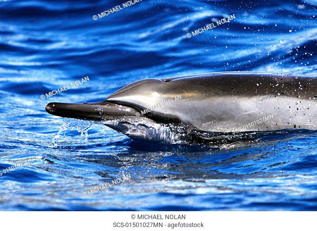 Hawaiian Spinner Dolphin Stenella longirostris surfacing in the AuAu Channel off the coast of Maui, HAwaii, USA Pacific Ocean Resolution Restricted - pls...